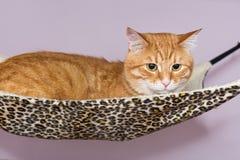 Gato rojo grande que miente en la hamaca Imagen de archivo libre de regalías