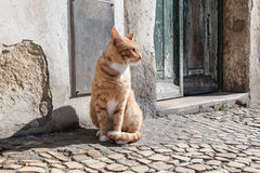 Gato rojo I Foto de archivo