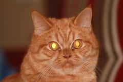 Gato rojo interesante imágenes de archivo libres de regalías