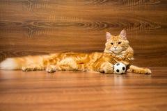 Gato rojo joven de la raza de Maine Coon que miente en ingenio de madera del fondo foto de archivo libre de regalías
