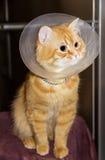 Gato rojo, llevando un cuello isabelino Fotografía de archivo