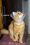 Gato rojo, llevando un cuello isabelino Fotos de archivo libres de regalías