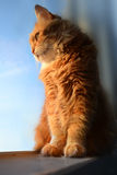Gato rojo mullido Imagenes de archivo