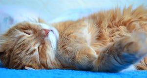 Gato rojo mullido Imagen de archivo
