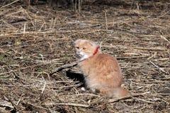 Gato rojo muy hermoso que se sienta en la hierba en la primavera Imagenes de archivo