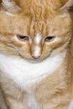Gato rojo ofendido Foto de archivo