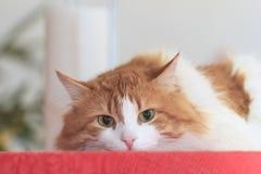 Gato rojo pensativo en mantel rojo Foto de archivo