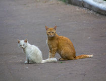 Gato rojo perdido con un gatito blanco Fotografía de archivo