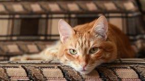 Gato rojo perezoso que miente en el sofá y que mira todo derecho