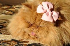 Gato rojo persa con un arco Imagenes de archivo