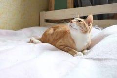 Gato rojo que juega en cama fotografía de archivo