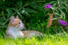 Gato rojo que miente en la hierba Foto de archivo libre de regalías