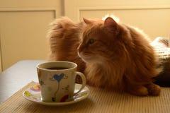 Gato rojo que miente en la tabla En la tabla es una taza de té imágenes de archivo libres de regalías