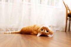 Gato rojo que miente en su parte posterior en el piso de madera imagenes de archivo
