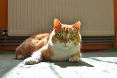 Gato rojo que miente en una alfombra verde en un punto de la luz del sol, listo para jugar imagen de archivo libre de regalías