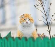 Gato rojo que mira a escondidas hacia fuera de detrás la cerca en el pueblo Imagenes de archivo