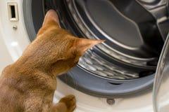 Gato rojo que mira la lavadora interior Fotos de archivo