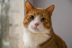 Gato rojo que mira la lluvia en ventana imagenes de archivo