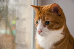 Gato rojo que mira la lluvia en ventana Foto de archivo