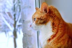 Gato rojo que mira la ventana Imágenes de archivo libres de regalías
