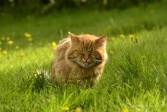 Gato rojo que muestra el tounge Imagen de archivo