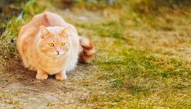 Gato rojo que se sienta en hierba verde de la primavera Foto de archivo libre de regalías