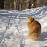 Gato rojo que toma una mirada Imagenes de archivo