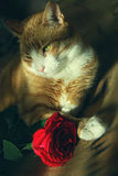 Gato rojo romántico con Rose en el cuarto Fotos de archivo libres de regalías
