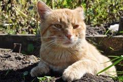 Gato rojo salvaje infeliz Fotografía de archivo