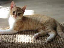 Gato rojo y blanco Fotografía de archivo libre de regalías