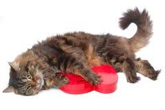 Gato romántico 5 Imagen de archivo libre de regalías