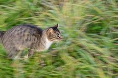 Gato Running Imagem de Stock Royalty Free
