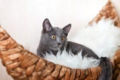 Gato ruso azul en el sofá Fotografía de archivo