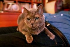 Gato ruso azul que se relaja, mintiendo y gozando siendo abrazado, cuidando en exceso y ronroneando en su dueño del revestimiento imagen de archivo libre de regalías
