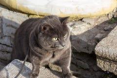 Gato ruso del gato azul en el harness Imagenes de archivo
