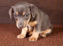 Gato Russel del perrito Fotografía de archivo libre de regalías