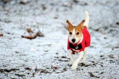 Gato Russell que se ejecuta en capa roja del invierno fotos de archivo libres de regalías