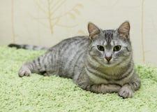 Gato sério, gato em casa, gato orgulhoso, gato engraçado, gato cinzento, animal doméstico, gato sério cinzento no fundo obscuro,  Imagem de Stock