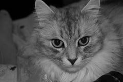 Gato sério na vaquinha preto e branco da cor Foto de Stock