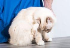 Gato sagrado blanco de Birmania en el veterinario que rasguña su cabeza imagenes de archivo
