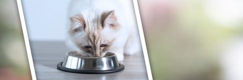 Gato sagrado hermoso de Birmania que come la comida para gatos seca; bandera panorámica imagen de archivo libre de regalías