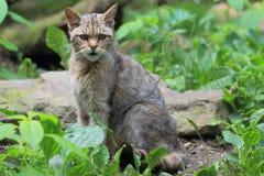 Gato salvaje Fotografía de archivo