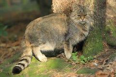 Gato salvaje Foto de archivo