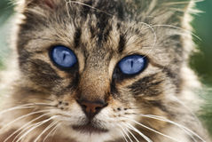 Gato salvaje Fotografía de archivo libre de regalías
