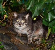 Gato salvaje Imágenes de archivo libres de regalías
