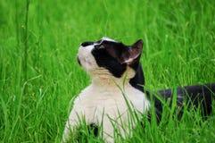Gato salvaje blanco y negro Fotografía de archivo