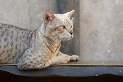 Gato salvaje de la calle Fotos de archivo