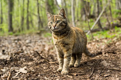 Gato salvaje del bosque Foto de archivo libre de regalías