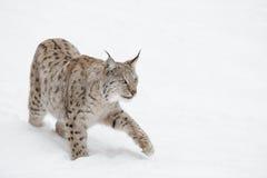 Gato salvaje del lince Fotografía de archivo libre de regalías