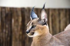 Gato salvaje del lince en África Foto de archivo